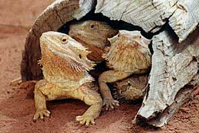 Alice Springs Reptile Centre - Accommodation Find